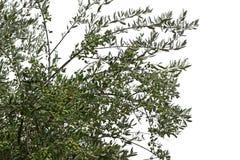 Olivgrüne Baumaste mit reifen Oliven lizenzfreie stockfotos