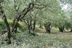 Olivgrüne Beschneidung lizenzfreies stockbild