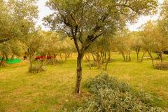 Olivgrüne Ernte Stockbilder