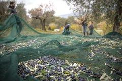Olivgrüne Ernte in der Landschaft in Italien lizenzfreie stockbilder