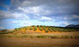 Olivgrüne Felder, Andalusien, Spanien Stockbild