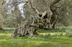 Olivgrüne Knoten Lizenzfreies Stockfoto