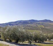 Olivgrüne Obstgärten im Andalusien Lizenzfreie Stockfotografie
