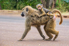 Olivgrüne Pavianmutter mit seinem Baby, das auf die Straße geht Stockfotos