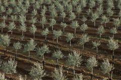 Olivgrüne Plantage mit Berieselung Stockfoto
