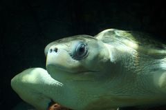 Olivgrüne Ridley Seeschildkröte Lizenzfreie Stockfotografie
