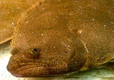 Olivgrüne Schollenplattfische mit beiden Augen auf der gleichen Seite Lizenzfreie Stockfotos