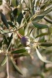 Olivgrüner Baumast Lizenzfreie Stockbilder