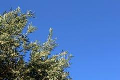 Olivgrüner Baumast auf dem Hintergrund des blauen Himmels Stockfoto