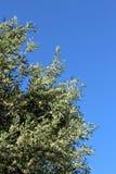 Olivgrüner Baumast auf dem Hintergrund des blauen Himmels Lizenzfreie Stockfotografie
