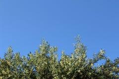 Olivgrüner Baumast auf dem Hintergrund des blauen Himmels Lizenzfreies Stockfoto