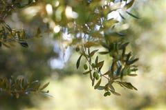 Olivgrüner Baumast, Friedenssymbol, mit reifen Oliven Lizenzfreie Stockfotos