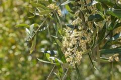 Olivgrüner Baumast mit Blumen in der Blüte Stockbilder