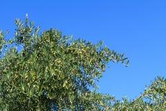 Olivgrüner Baumast mit Oliven Kreta-Insel, Griechenland Lizenzfreie Stockfotografie