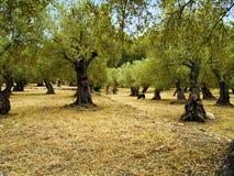 Olivgrüner Garten Stockfotografie