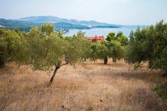 Olivgrüner Garten in Griechenland Stockfotografie
