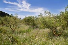 Olivgrüner Obstgarten Stockbild