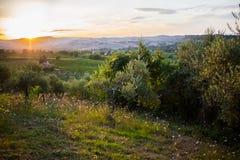 Olivgrüner Obstgarten im Sonnenuntergang Stockfotos