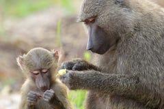 Olivgrüner Pavian des Babys und der Mutter (Papio Anubis) Stockfotografie