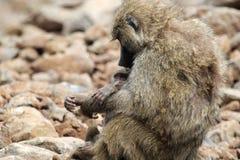 Olivgrüner Pavian des Babys und der Mutter (Papio Anubis) Lizenzfreies Stockfoto