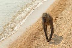 Olivgrüner Pavian (Papio Anubis) auf dem Strand Stockfotografie