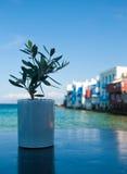 Olivgrüner Schössling auf dem Hintergrund von wenigem Venedig Stockfotos