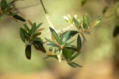 Olivgrüner Zweig stockfotografie