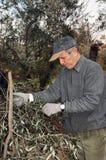 Olivgrünes Ernten Lizenzfreie Stockfotografie