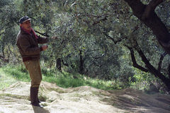 Olivgrünes Ernten Stockbilder