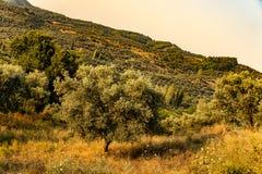 Olivgrünes Feld in der Türkei, zeytin tarlası stockfotografie
