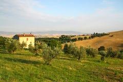 Olivgrünes Feld in Italien stockfoto
