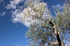 Olivgr?n dunge och tr?dg?rd med havssikt En olivtr?d med bakgrunden av en bl? himmel arkivbild
