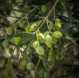 Olivgrüner Baumast Lizenzfreies Stockfoto