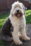 Olivia, ein weiblicher alter englischer Schäferhund Lizenzfreie Stockbilder
