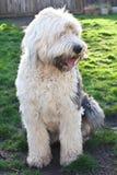Olivia, ein weiblicher alter englischer Schäferhund Stockfoto