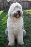 Olivia, ein weiblicher alter englischer Schäferhund Lizenzfreies Stockbild