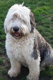 Olivia, ein weiblicher alter englischer Schäferhund Stockfotografie