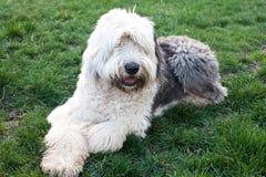 Olivia en kvinnlig gammal engelsk fårhund royaltyfri fotografi