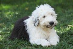 Olivia, un vieux chiot anglais femelle de chien de berger Photographie stock libre de droits