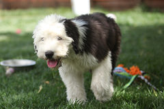Olivia, un vieux chiot anglais femelle de chien de berger Photo libre de droits