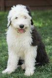 Olivia, un vieux chiot anglais femelle de chien de berger Photographie stock