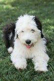 Olivia, un vieux chiot anglais femelle de chien de berger Images stock