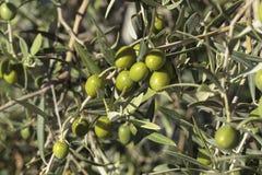 Oliviculture dans l'arbre Images stock