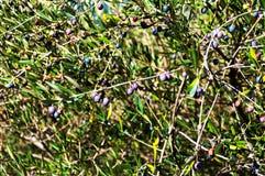 Olivier avec les olives mûres Photos libres de droits