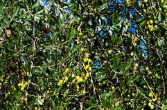 Olivier avec les olives mûres Image libre de droits