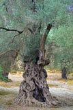 Olivier centenaire dans la campagne de Crète photographie stock