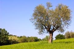 Olivier et buissons Photos libres de droits