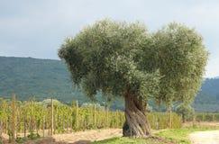 Olivier et vigne Image stock