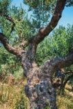 Olivier isolé en Crète, jardin crétois images libres de droits