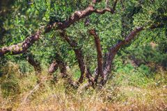 Olivier isolé en Crète, jardin crétois photos stock